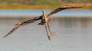Great blue heron (Ardea herodias) in flight, landing. Myakka River State Park, Florida, USA. February. - George  Sanker