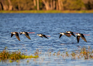 Black-necked stilt (Himantopus mexicanus) flock flying over water. Myakka River State Park, Florida, USA. February.  -  George  Sanker
