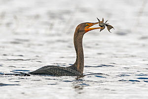 Double-crested cormorant (Phalacrocorax auritus) feeding on Catfish (Siluriformes). Myakka River State Park, Florida, USA. February.  -  George  Sanker