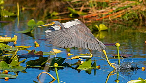 Tricolored heron (Egretta tricolor) fishing by flying low over water. Everglades National Park, Florida, USA. March.  -  George  Sanker