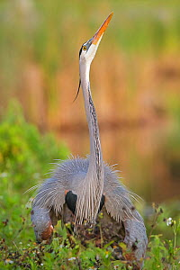 Great blue heron (Ardea herodias) looking upwards with neck stretched. Everglades National Park, Florida, USA. March. - George  Sanker