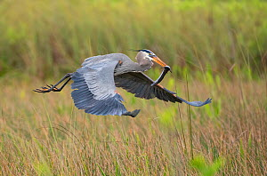 Great blue heron (Ardea herodias) flying with fish in beak. Everglades National Park, Florida, USA. March. - George  Sanker