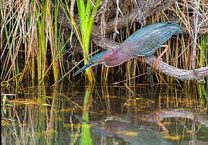 Green heron (Butorides virescens) fishing from branch perch above water. Everglades National Park, Florida, USA. March.  -  George  Sanker