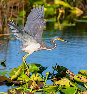 Tricoloured heron (Egretta tricolor) fishing by flying low over water, amongst Water lilies. Everglades National Park, Florida, USA. March.  -  George  Sanker