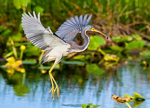 Tricoloured heron (Egretta tricolor) with fish in beak, in mid-air. Everglades National Park, Florida, USA. March.  -  George  Sanker