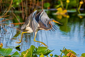 Tricoloured heron (Egretta tricolor) fishing by flying low over water. Everglades National Park, Florida, USA. March.  -  George  Sanker