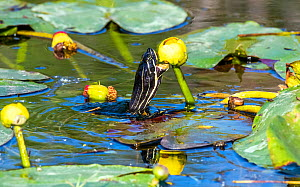Florida red-bellied cooter turtle (Pseudemys nelsoni) feeding on Water lily (Nymphaeaceae) flower. Everglades National Park, Florida, USA. March.  -  George  Sanker
