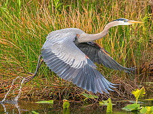 Great blue heron (Ardea herodias) taking off from water. Everglades National Park, Florida, USA. March. - George  Sanker