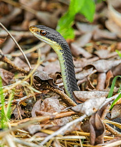 Everglades racer snake (Coluber constrictor paludicola). Everglades National Park, Florida, USA. March.  -  George  Sanker