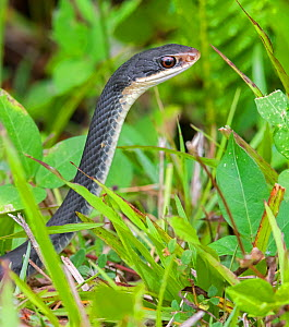Everglades racer (Coluber constrictor paludicola). Everglades National Park, Florida, USA. March.  -  George  Sanker