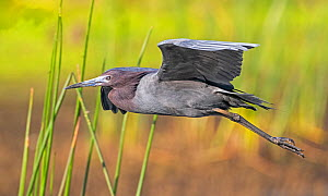 Little blue heron (Egretta caerulea) in flight. Myakka River State Park, Florida, USA. March. - George  Sanker