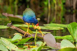 Purple gallinule (Porphyrio martinicus) feeding on Lily (Nymphaeaceae) flower. Everglades National Park, Florida, USA. March.  -  George  Sanker