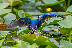 Purple gallinule (Porphyrio martinicus) striding over Lily (Nymphaeaceae) pads. Everglades National Park, Florida, USA. March.  -  George  Sanker