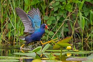 Purple gallinule (Porphyrio martinicus) walking on Lilies (Nymphaeaceae). Everglades National Park, Florida, USA. March.  -  George  Sanker