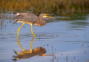 Tricoloured Heron (Egretta tricolor) fishing, tossing prey in beak. At dusk, Myakka River State Park, Florida, USA, March.  -  George  Sanker