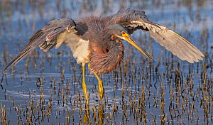 Tricoloured heron (Egretta tricolor) fishing with wings formed into partial umbrella to shade water, making it easier to see prey. At dusk, Myakka River State Park, Florida, USA, March.  -  George  Sanker