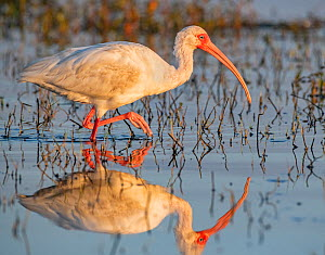 American white ibis (Eudocimus albus) foraging in morning light. Myakka River State Park, Florida, USA, March. - George  Sanker