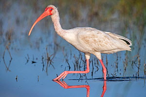 American white ibis (Eudocimus albus) wading in morning light. Myakka River State Park, Florida, USA, March. - George  Sanker