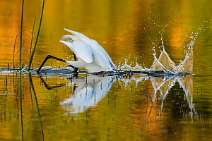 Great egret (Ardea alba) diving head into water to catch prey, in evening light. Myakka River State Park, Florida, USA, March. Sequence 1/2.  -  George  Sanker