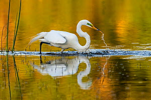 Great egret (Ardea alba) with prey in beak, in evening light. Myakka River State Park, Florida, USA, March. Sequence 2/2. - George  Sanker