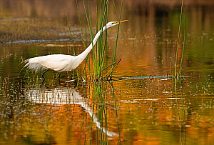 Great egret (Ardea alba) fishing in evening light. Myakka River State Park, Florida, USA, March. - George  Sanker