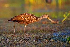 Limpkin (Aramus guarauna) foraging in evening light. Myakka River State Park, Florida, USA, March. - George  Sanker