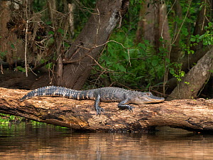 American alligator (Alligator mississippiensis) resting on log at water's edge, forest behind. Hillsborough River, Florida, USA. March. - George  Sanker