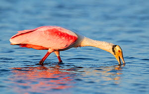 Roseate spoonbill (Platalea ajaja) feeding in evening light. Myakka River State Park, Florida, USA. February. - George  Sanker