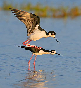 Black-necked stilt (Himantopus mexicanus) pair mating in morning light. Myakka River State Park, Florida, USA. February. - George  Sanker