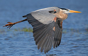 Great blue heron (Ardea herodias) in flight. Myakka River State Park, Florida, USA. February. - George  Sanker