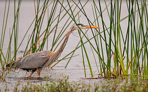 Great blue heron (Ardea herodias) fishing, concealed amongst river grasses. Myakka River State Park, Florida, USA. February. - George  Sanker