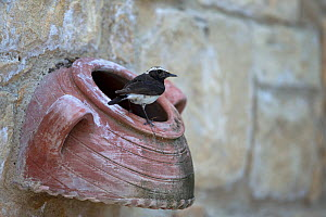 Cyprus wheatear (Oenanthe cypriaca) perched on ceramic pot in wall. Cyprus. April.  -  Robin Chittenden