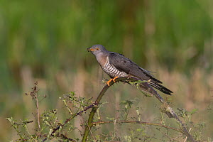 Common cuckoo (Cuculus canorus) with caterpillar in beak, perched in scrub. Norfolk, England, UK. May. - Robin Chittenden