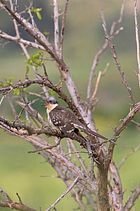 Great spotted cuckoo (Clamator glandarius) perched in tree with open mouth. Cyprus. April.  -  Robin Chittenden