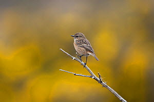 Stonechat (Saxicola torquatus) perched on branch. Suffolk, England, UK. March.  -  Robin Chittenden