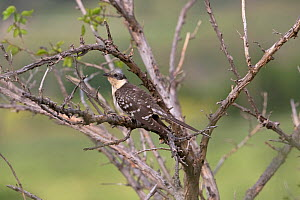 Great spotted cuckoo (Clamator glandarius) perched in thorny bush. Cyprus. April.  -  Robin Chittenden