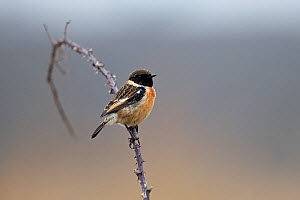 Stonechat (Saxicola torquatus) perched on thorny branch. Suffolk, England, UK. March.  -  Robin Chittenden