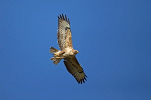 Common buzzard (Buteo buteo) in flight, view from below. Norfolk, England, UK. March. - Robin Chittenden