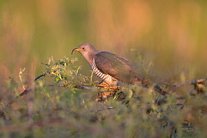 Common cuckoo (Cuculus canorus) with Caterpillar in beak, perched on scrub in evening light. Norfolk, England, UK. May. - Robin Chittenden