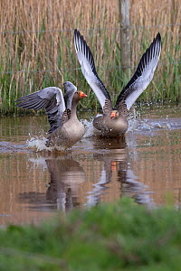 Greylag goose (Anser anser), two on water, exhibiting aggression. Norfolk, England, UK. April.  -  Robin Chittenden