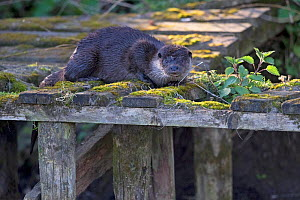 Common otter (Lutra lutra) on old jetty in morning light. East Anglia, England, UK. April. - Robin Chittenden