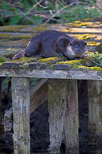 Common otter (Lutra lutra) on old jetty. East Anglia, England, UK. April. - Robin Chittenden