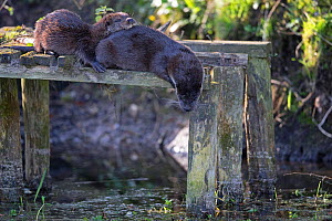 Common otter (Lutra lutra) female and kit resting on old jetty. East Anglia, England, UK. April. - Robin Chittenden