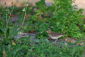 Tree pipit (Anthus trivialis) Cyprus. April.  -  Robin Chittenden