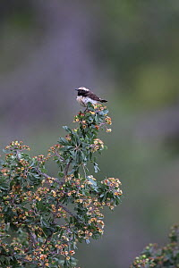 Cyprus wheatear (Oenanthe cypriaca) perched on bush. Cyprus. April.  -  Robin Chittenden