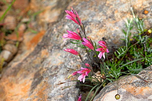 Three-leaved gladiolus (Gladiolus triphyllus) in rock crevice. Cyprus. April.  -  Robin Chittenden
