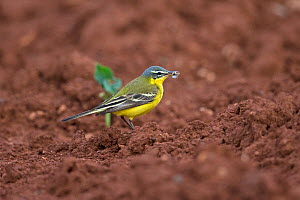 Western yellow wagtail (Motacilla flava) with insect in beak. Cyprus. April.  -  Robin Chittenden