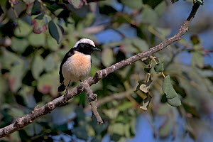 Cyprus wheatear (Oenanthe cypriaca) perched on branch. Cyprus. April.  -  Robin Chittenden