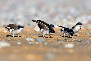House martin (Delichon urbicum) group on ground, collecting sand for nests. Cyprus. April. - Robin Chittenden