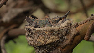 Anna's Hummingbird (Calypte anna) chick, sleeping in nest, Southern California, USA, March.  -  John Chan